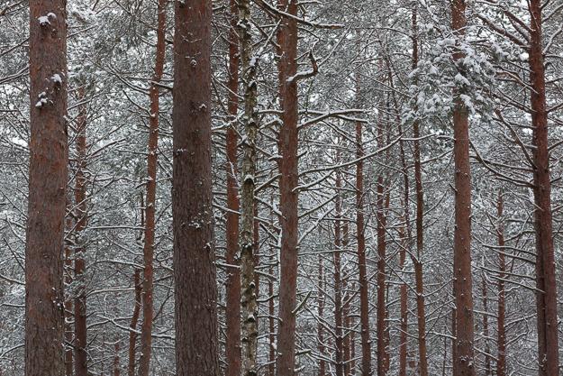 zimowy las