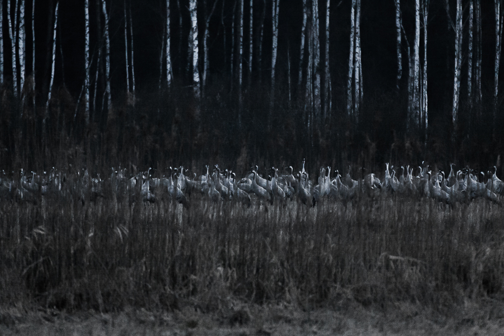 żurawie