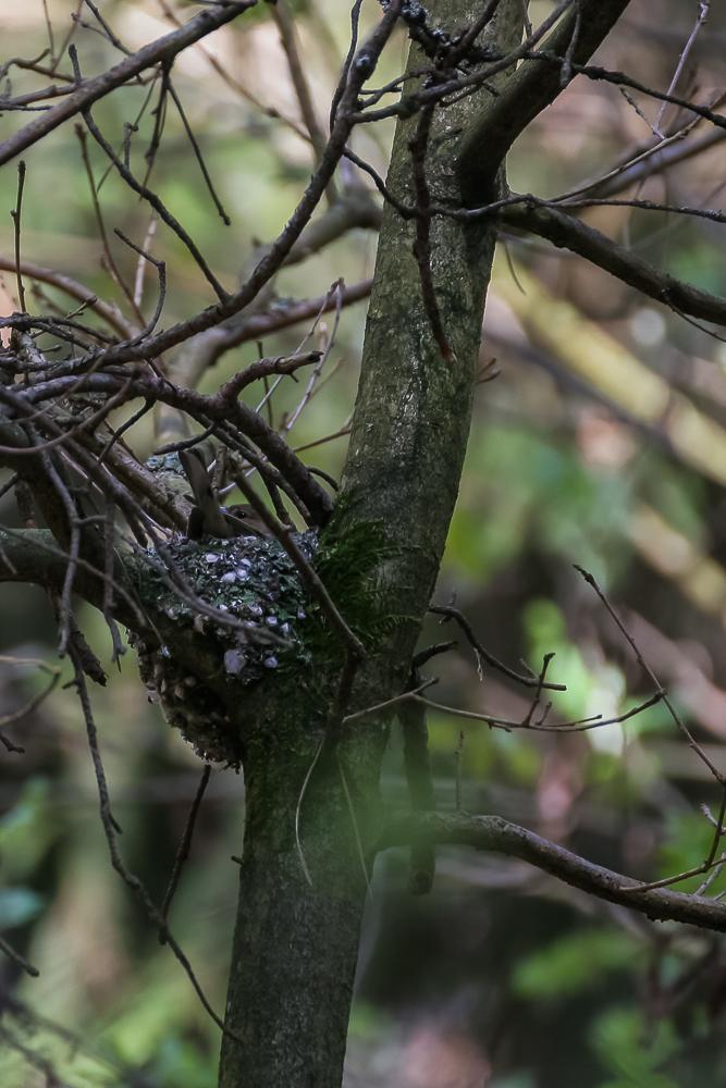 gniazdo zięby