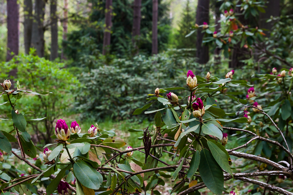 różanecznik (rododendron)