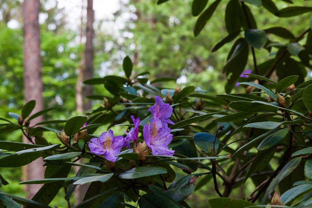 różaneczniki (rododendrony)
