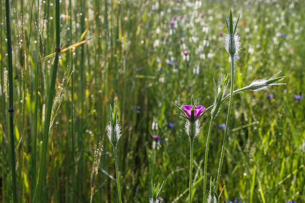 kąkol polny