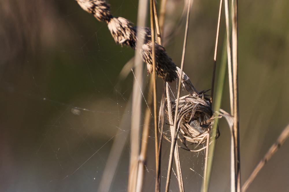 gniazdo pająka, krzyżak łąkowy