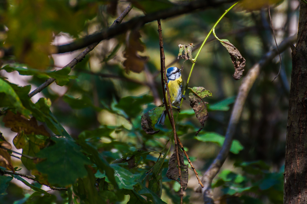 Sikora modra (modraszka)