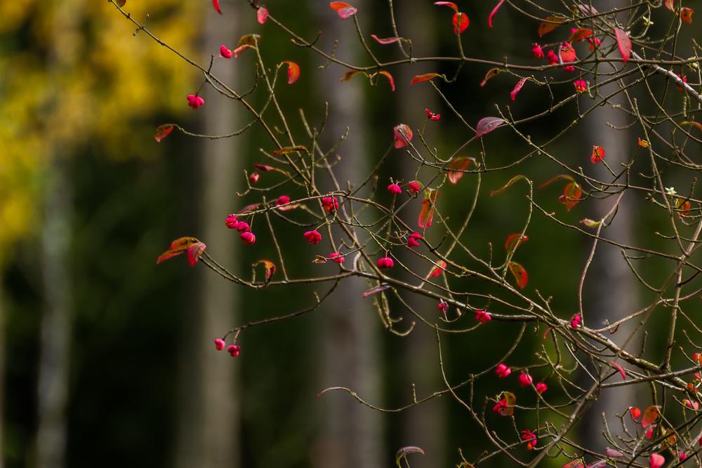 Trzmielina pospolita (trzmielina europejska)