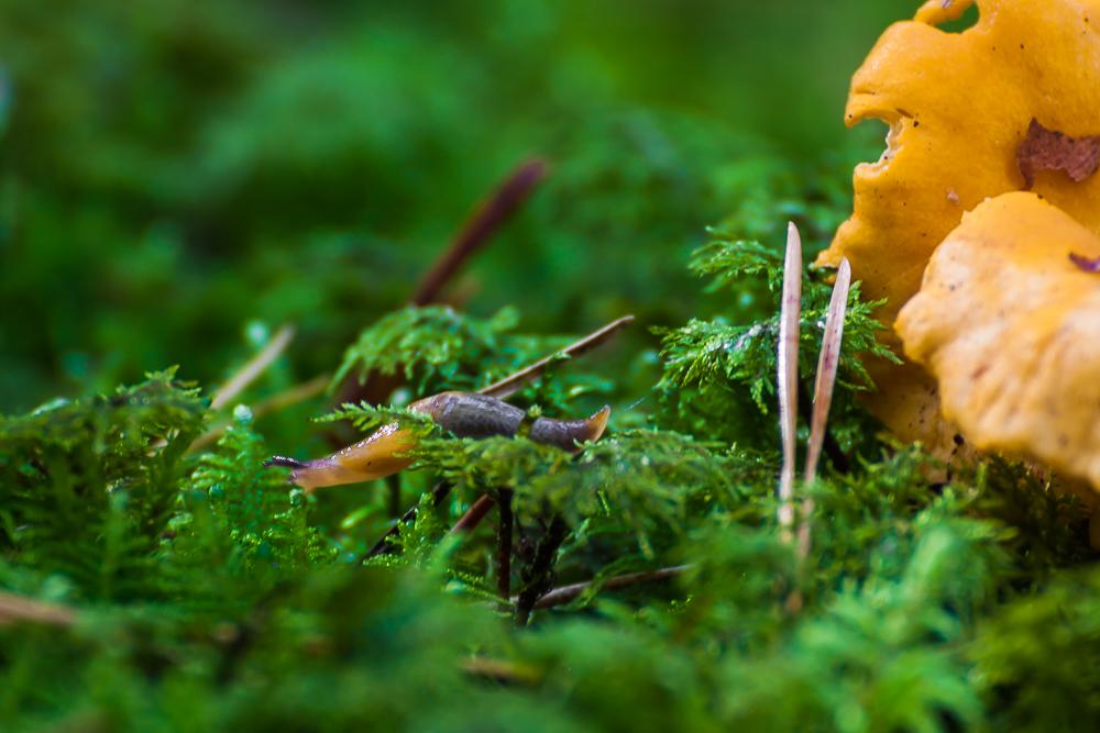 ślimak nagi, ślimak na grzybie