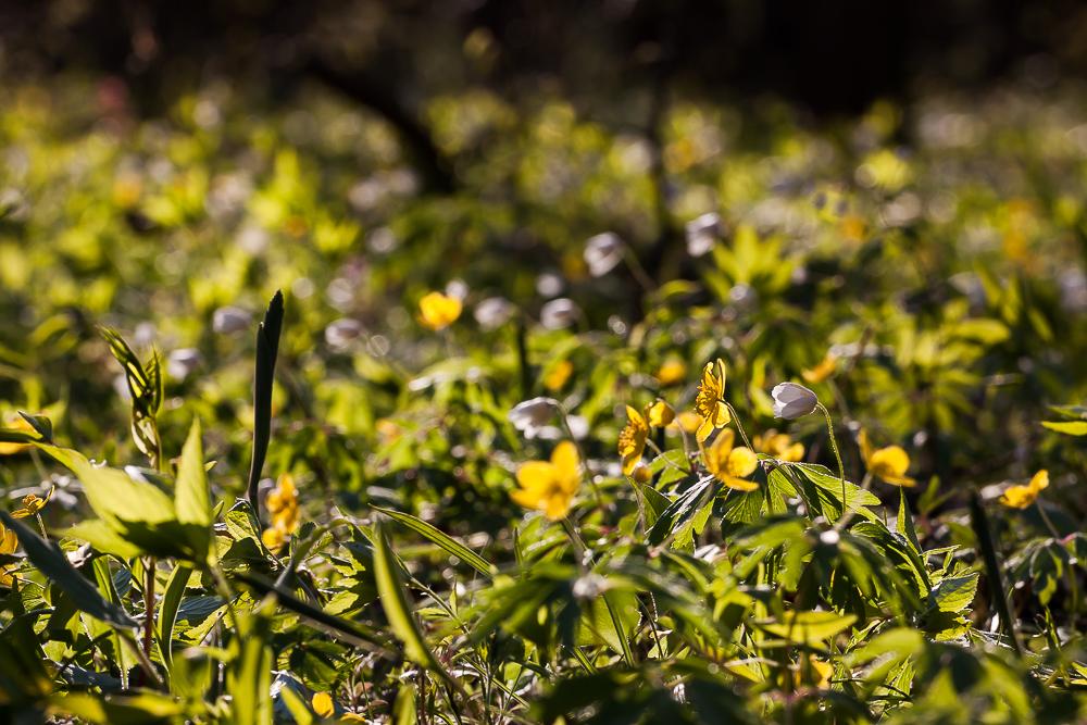 Zawilce: żółty i gajowy