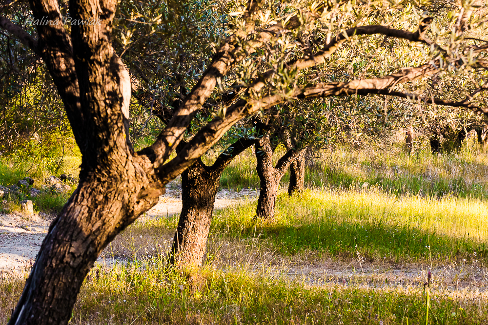 Oliwka europejska, oliwnik europejski, drzewo oliwne