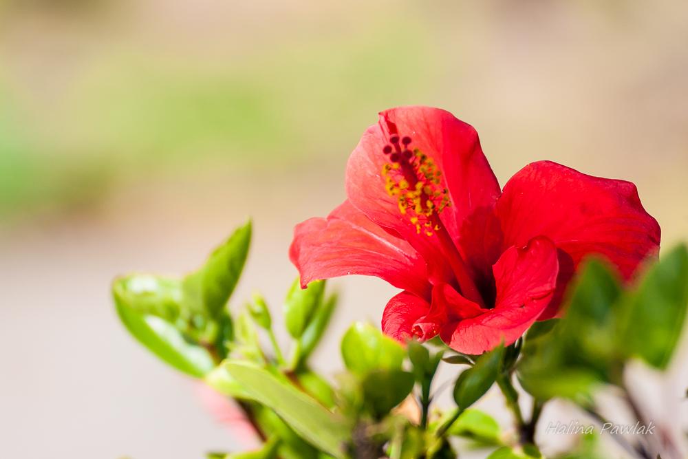 ketmia, róża chińska , hibiscus