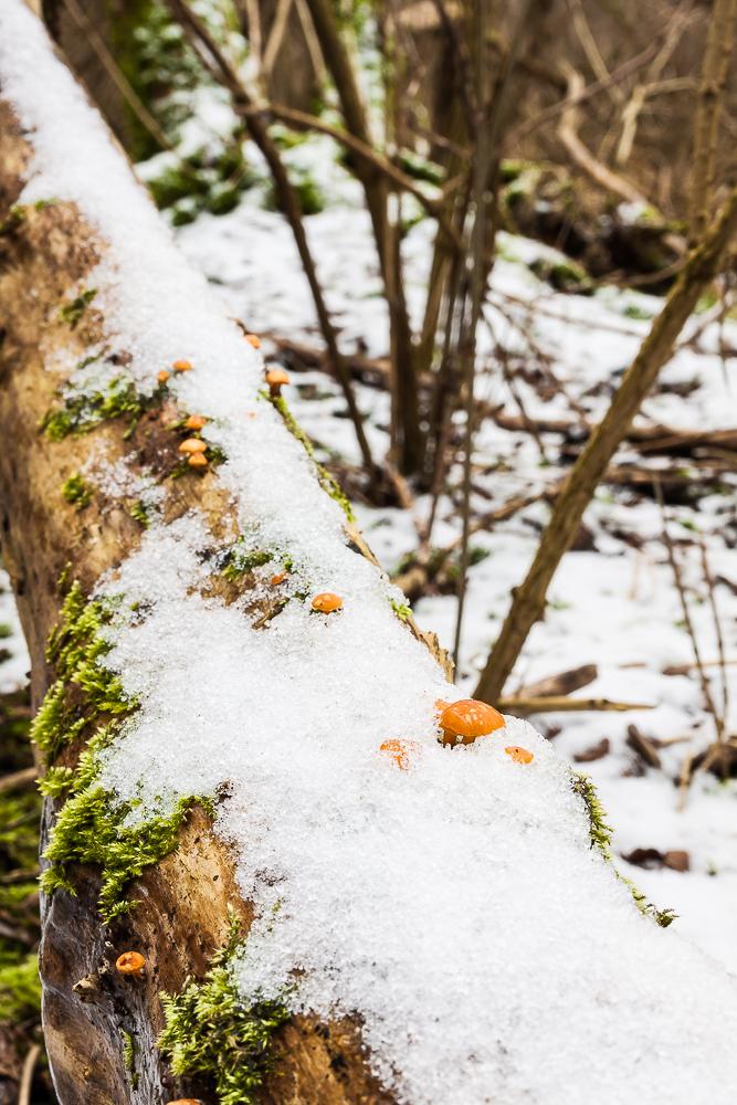 Płomiennica zimowa (zimówka aksamitnotrzonowa)