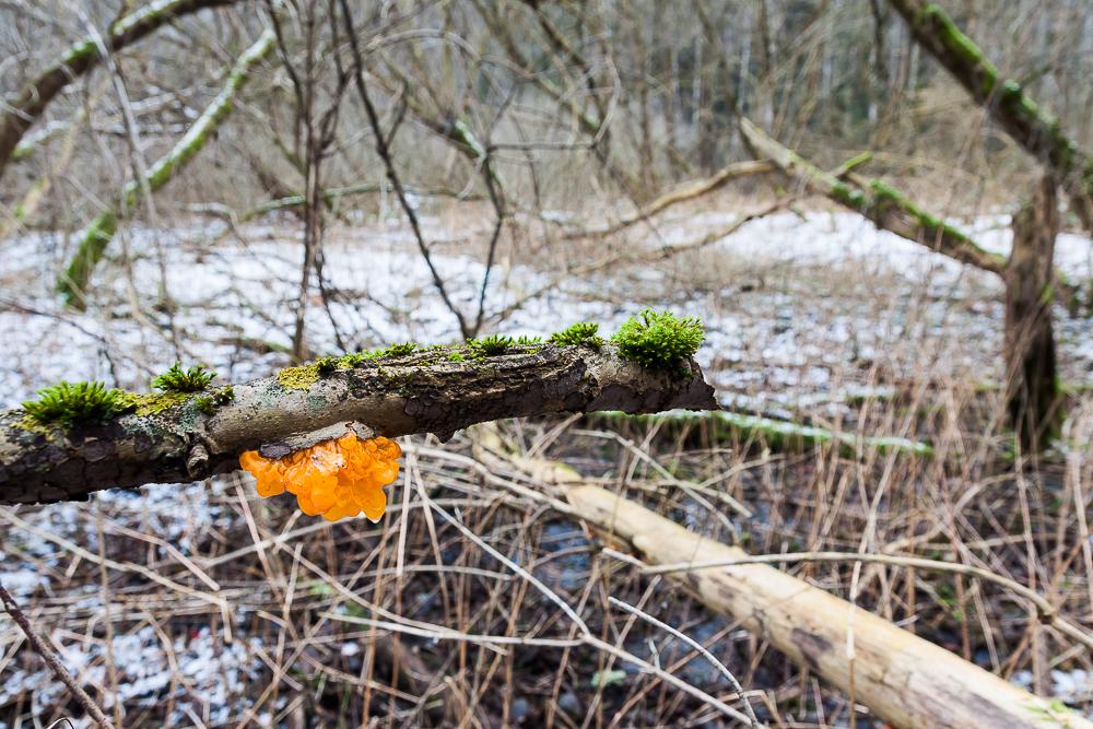 Trzęsak pomarańczowożółty (trzęsak pomarańczowy)