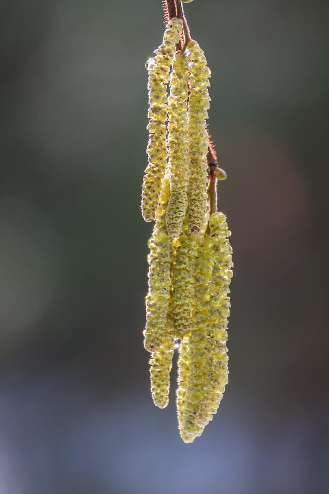 leszczyna - kwiatostany męskie