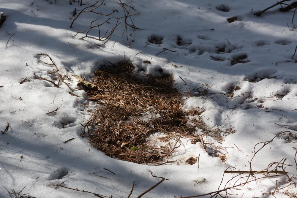 zimowe legowisko sarny