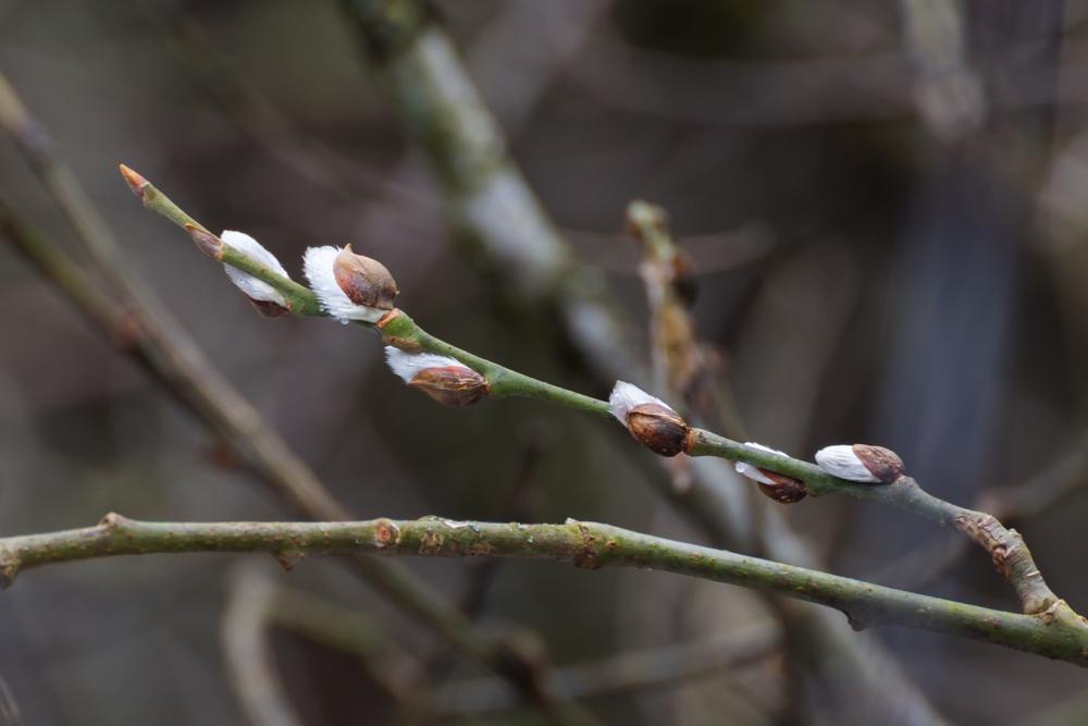 Wierzba iwa - bazie (kwiatostany męskie, kotki pręcikowe)