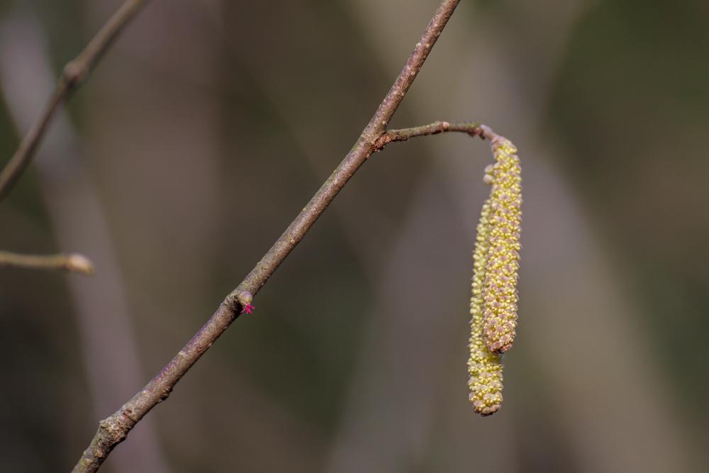 Leszczyna - kwiat żeński (kwiat słupkowy)