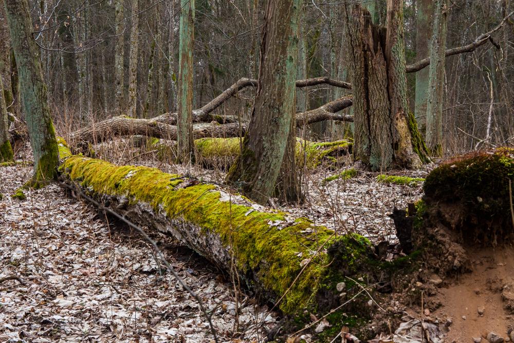 Las grądowy