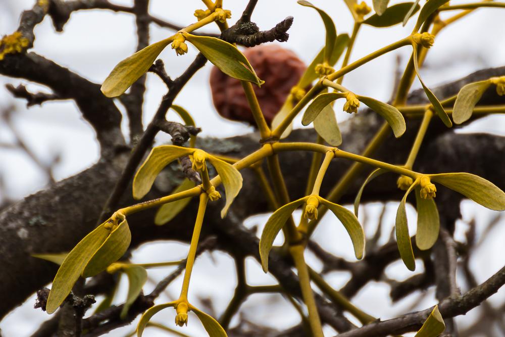 kwitnąca jemioła pospolita
