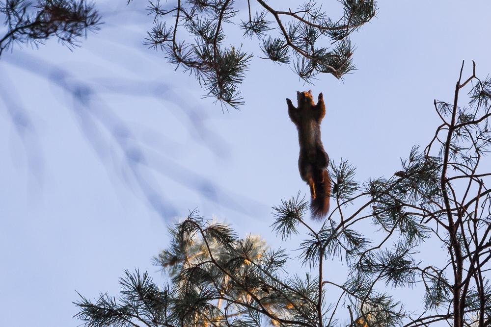 szybująca wiewiórka