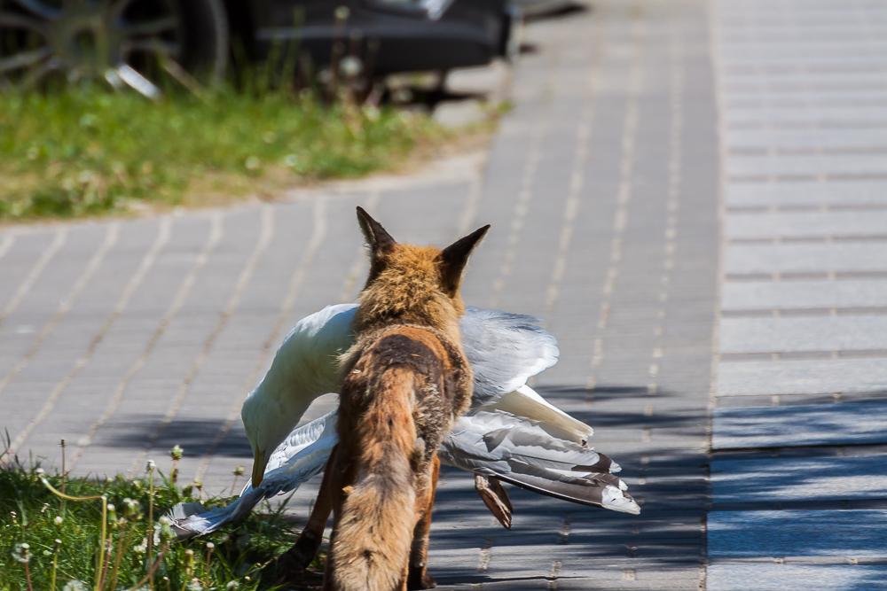 Lis i mewa srebrzysta
