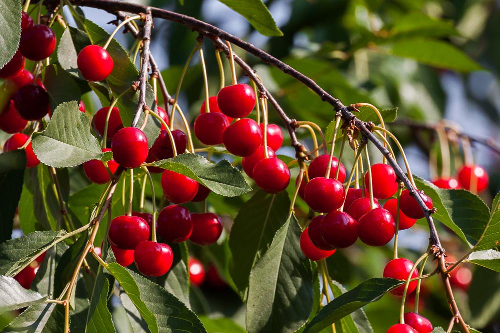 Wiśnia pospolita (wiśnia, Cerasus vulgaris, Prunus cerasus)