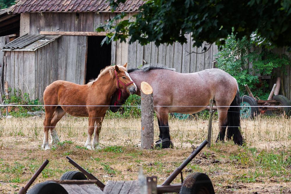koń domowy, żrebiak