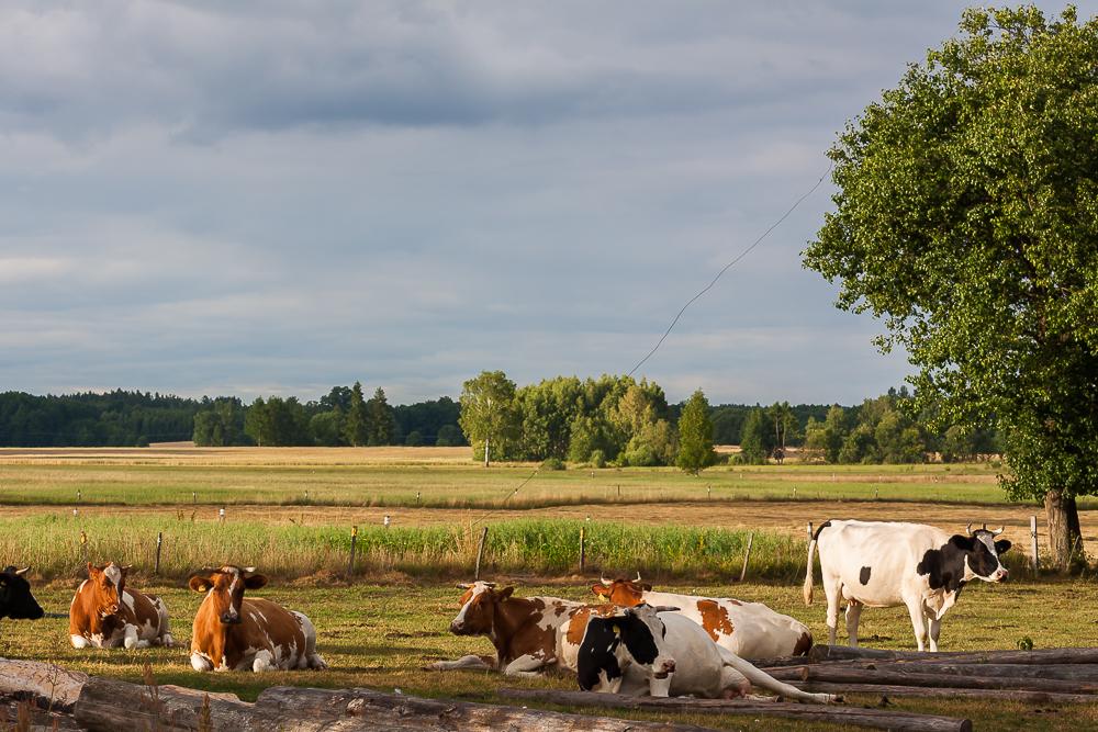 krowy, krasule