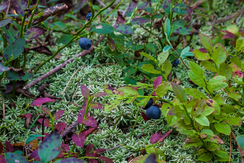 Borówka czarna (czernica)