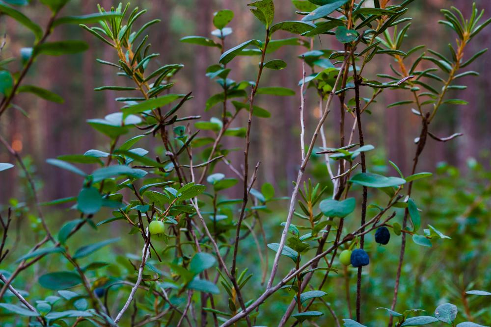 Borówka bagienna (łochynia)