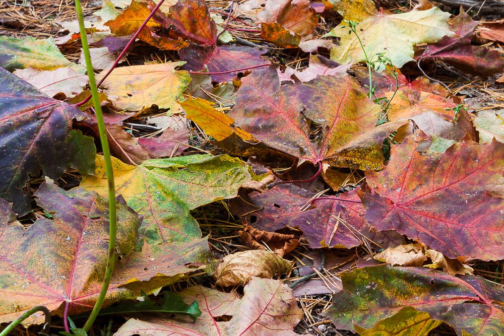 liście klonu, jesień