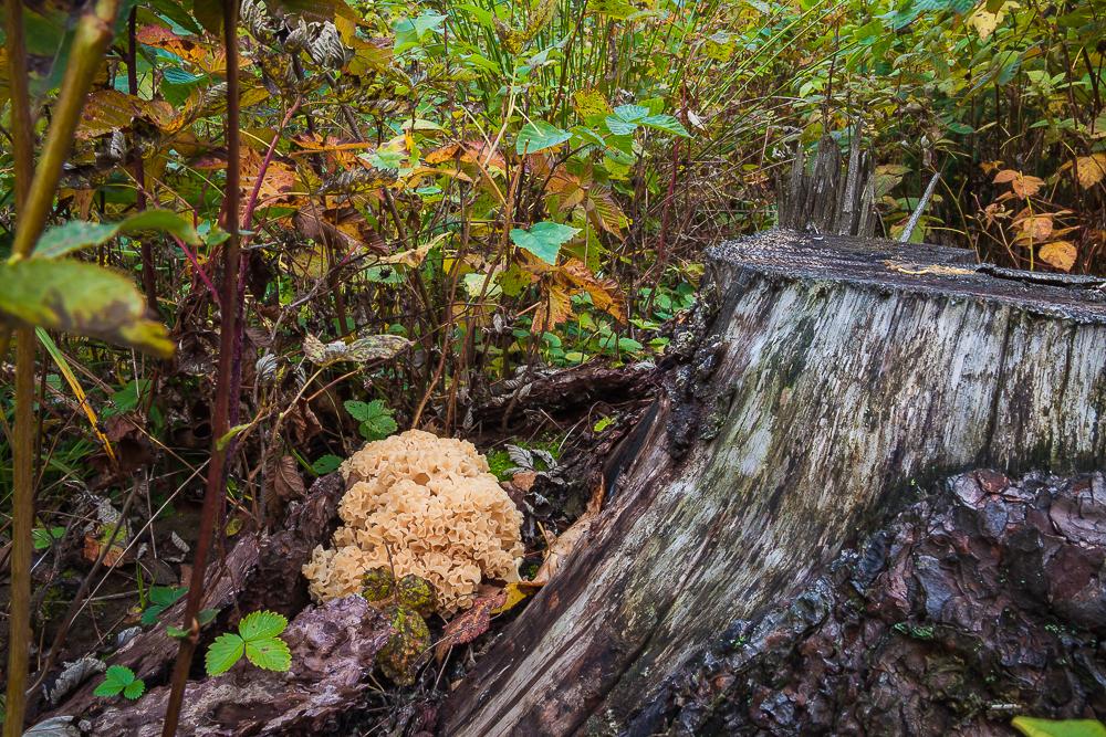 szmaciak gałęzisty (siedzuń sosnowy)