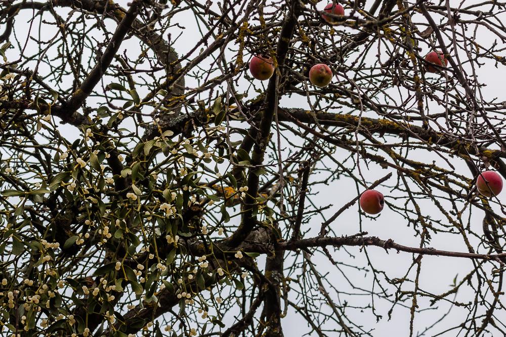 jemioła na jabłoni