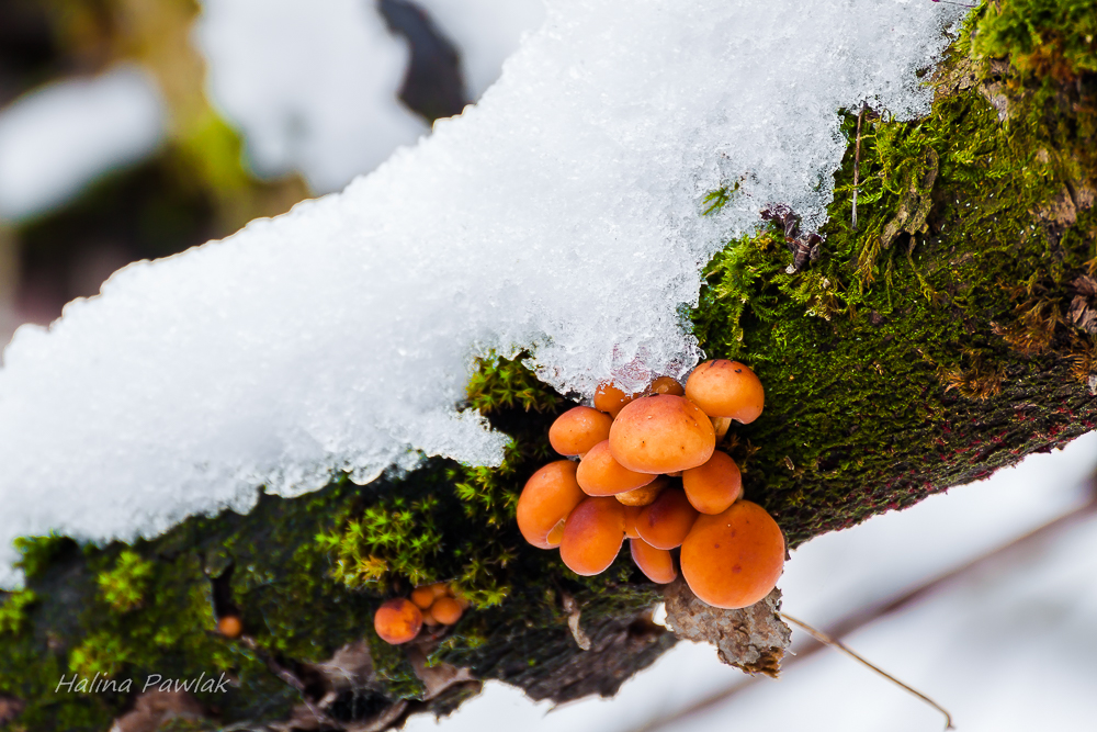 Zimówki aksamitnotrzonowe, płomienice zimowe