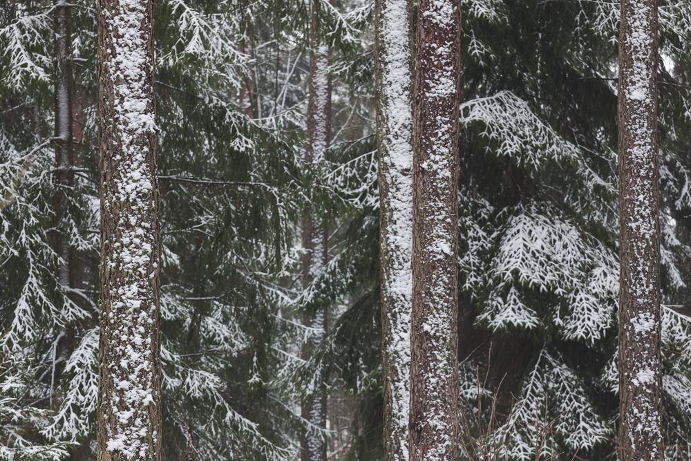 Puszcza Knyszyńska, las w śniegu