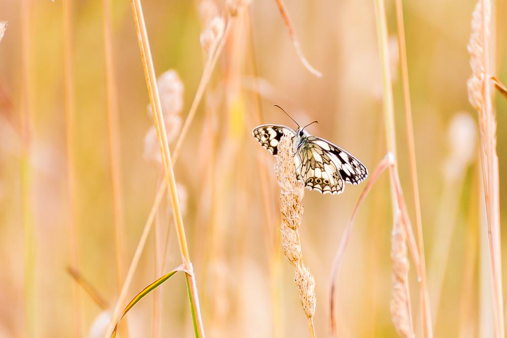 Ten zaś buszował wśród traw na miedzy. Szachownica galatea (polowiec szachownica)