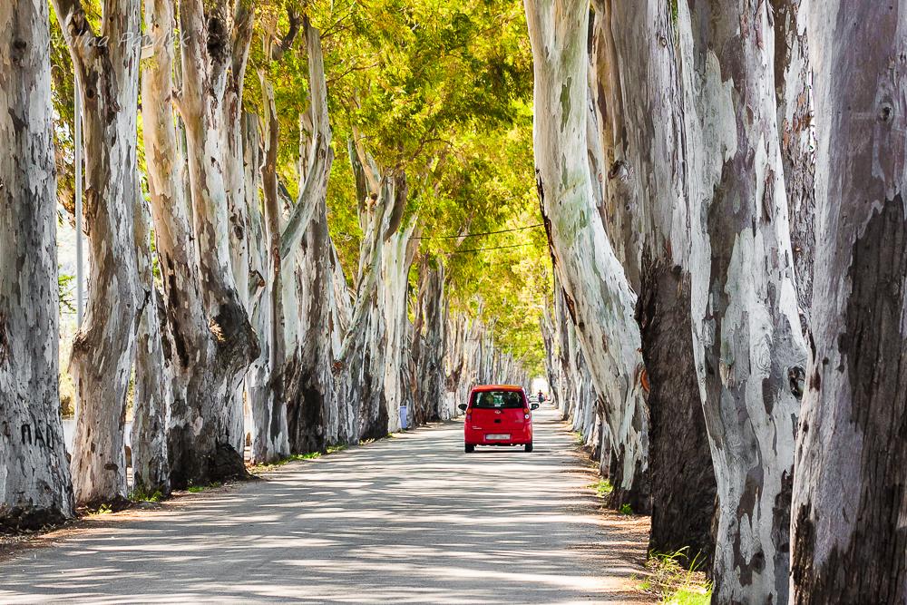Eukaliptus sp