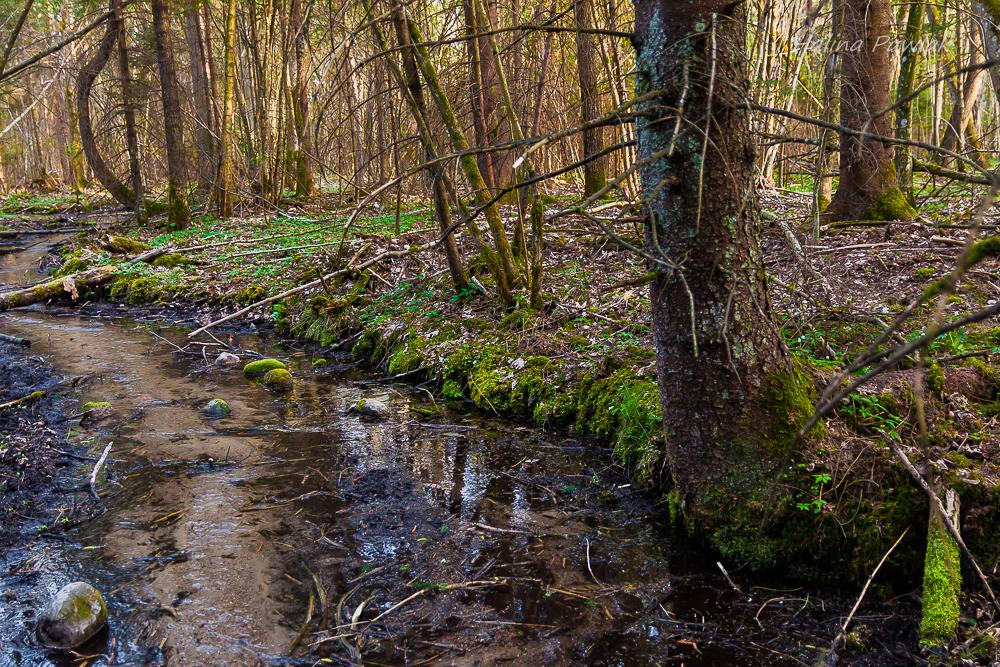 leśny strumień, rezerwat Budzisk.