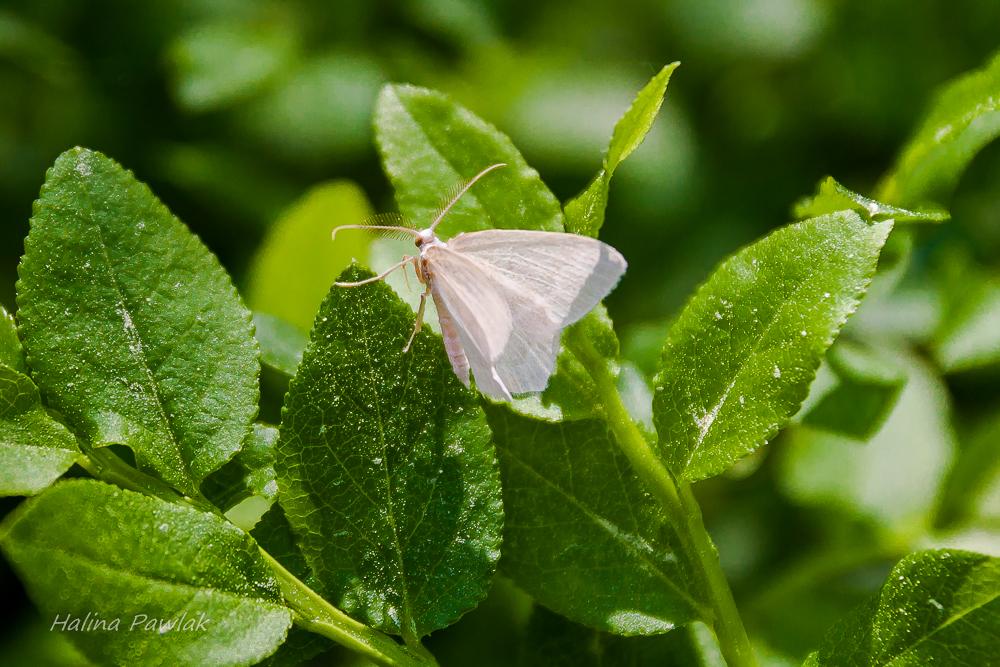 Miernik borówczak (Jodis putata), samica