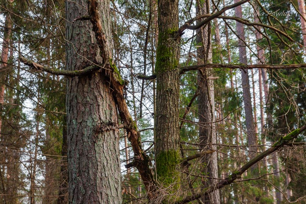 Konkurencja międzygatunkowa u drzew
