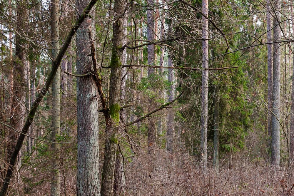 konkurencja międzygatunkowa u drzew; sosna i dąb