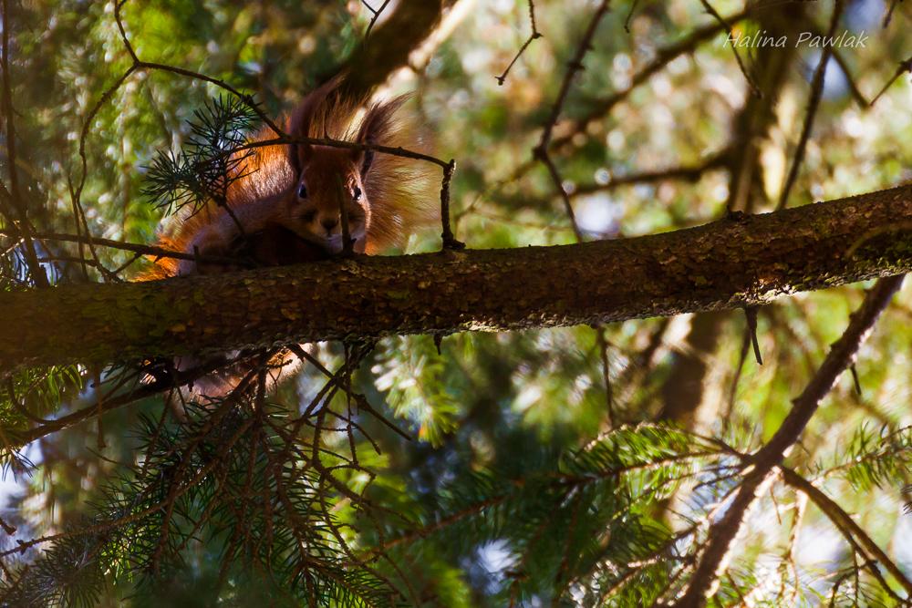 Wiewiórka pospolita
