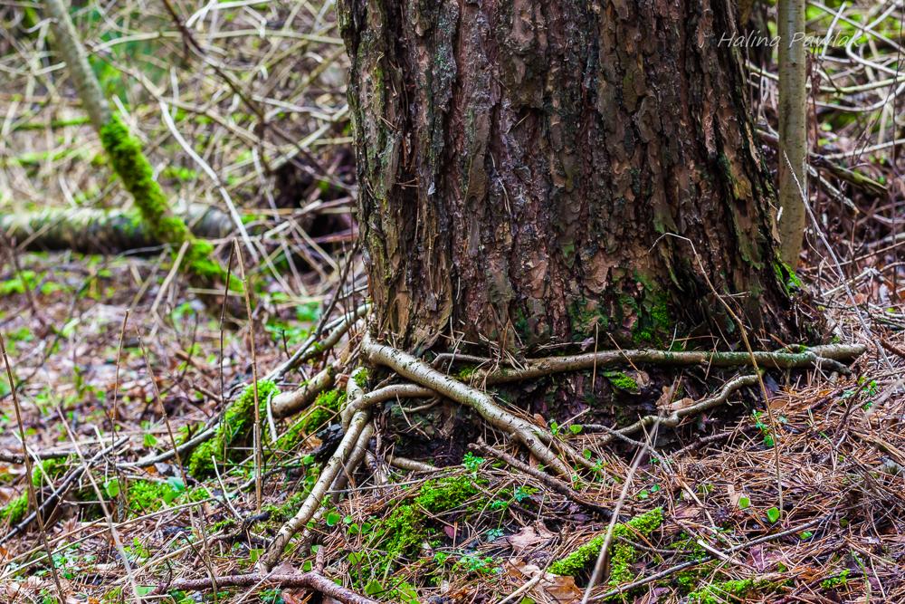 współpraca drzew