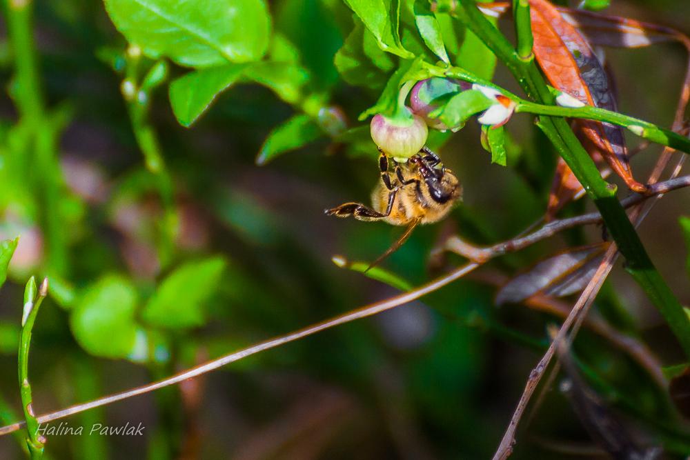 Borówka czernica, pszczoła