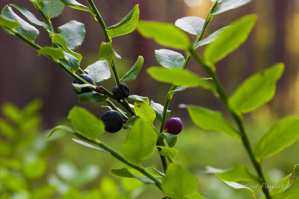 Borówka czernica, czarna jagoda