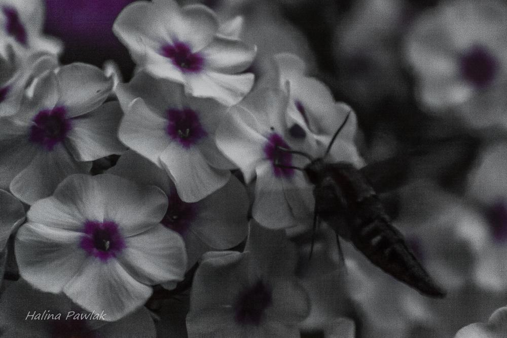 motyl zawisak