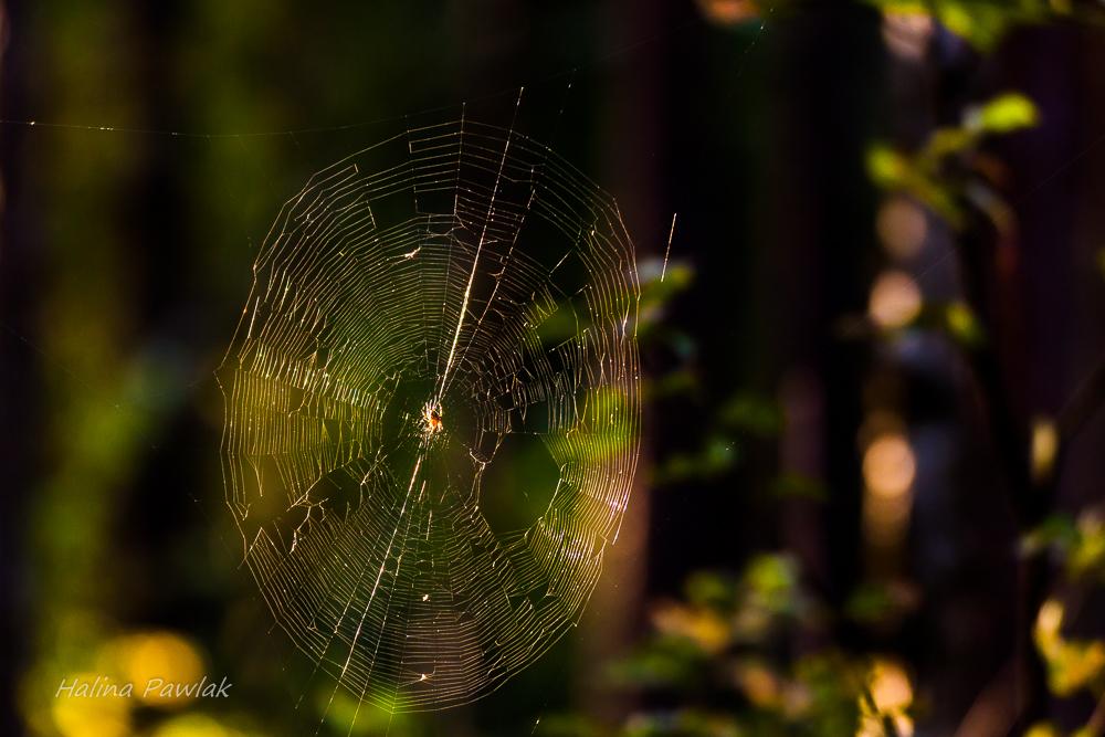 pająk, pajęczyna