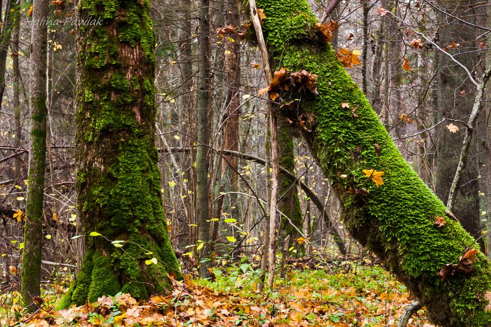 Rezerwat Budzisk, Puszcza Knyszyńska