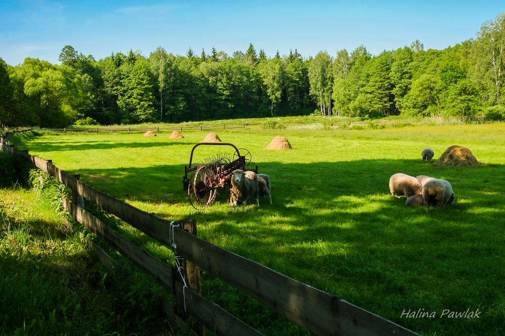 owce na łące