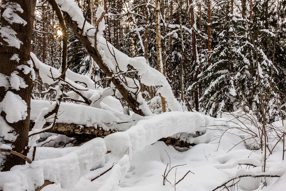 Puszcza Knyszyńska, zimowy las