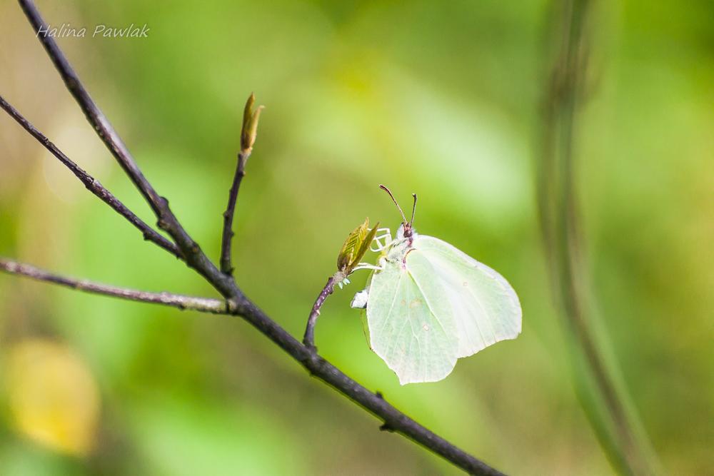 Latolistek cytrynek, jajeczka motyli