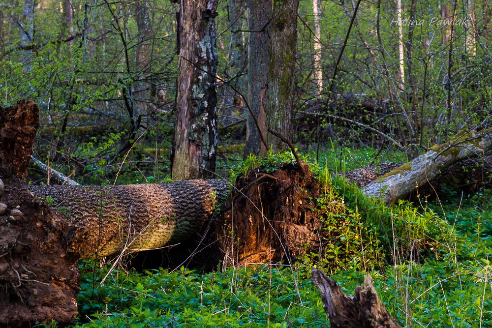 rola obumarłych drzew